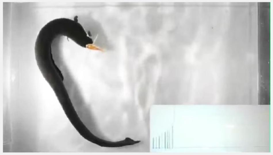 電気ウナギは巧妙な策を駆使して獲物を殺す