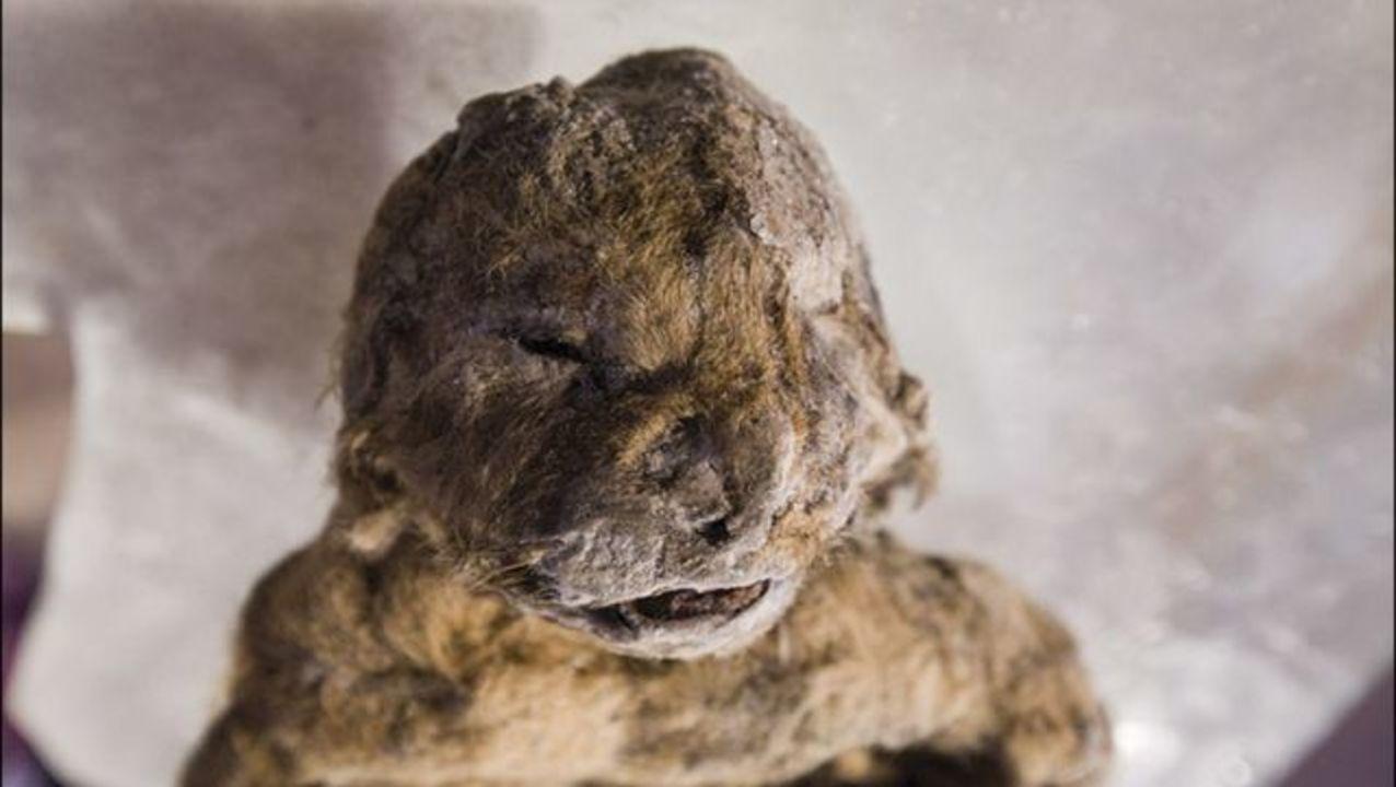 1万2000年前に絶滅したライオンの赤ちゃん、シベリアで発掘される