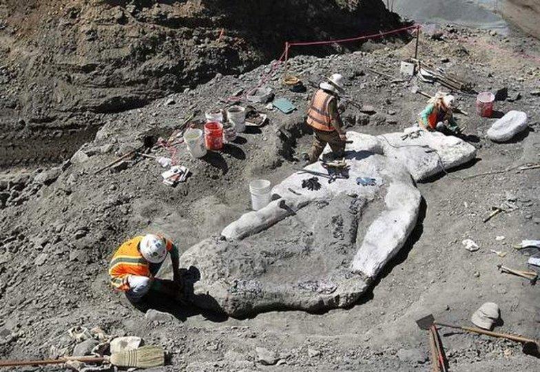 カリフォルニアの山で四百万年前のクジラの化石が発掘、進化の過程を知る手がかりに?