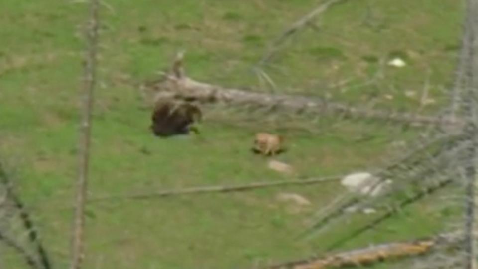 クマが全速力のシカよりも速かった(動画あり)