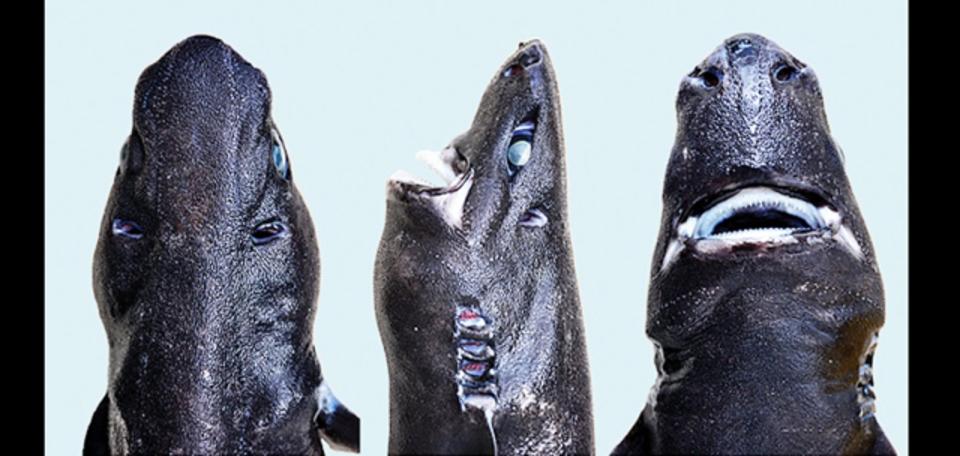 隠れたり光ったりするこの新種のサメを専門家はこう呼ぶ...忍者ランタンシャーク!
