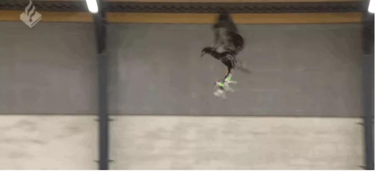 オランダ警察、ドローンを捕まえるワシをトレーニング中