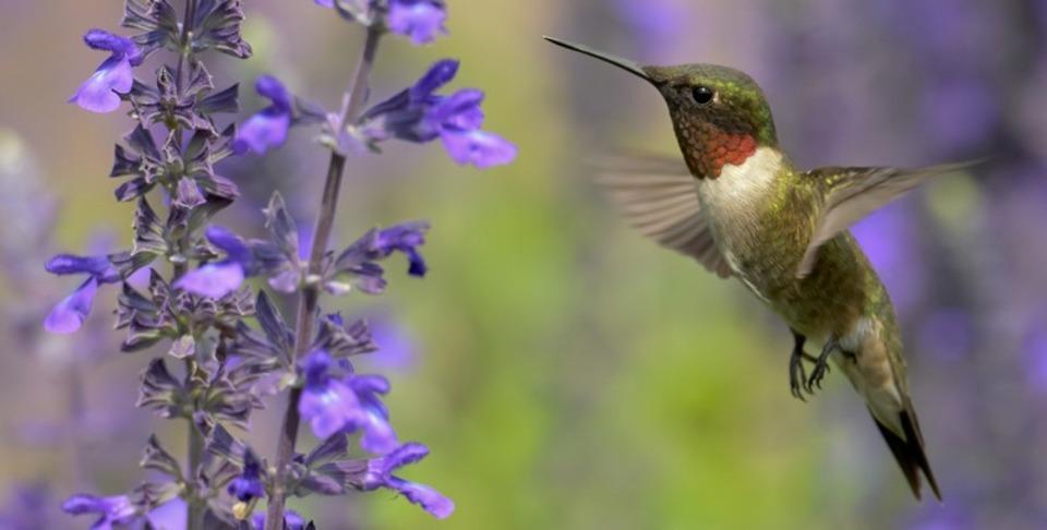 ハチドリは飛びながら体温調節している