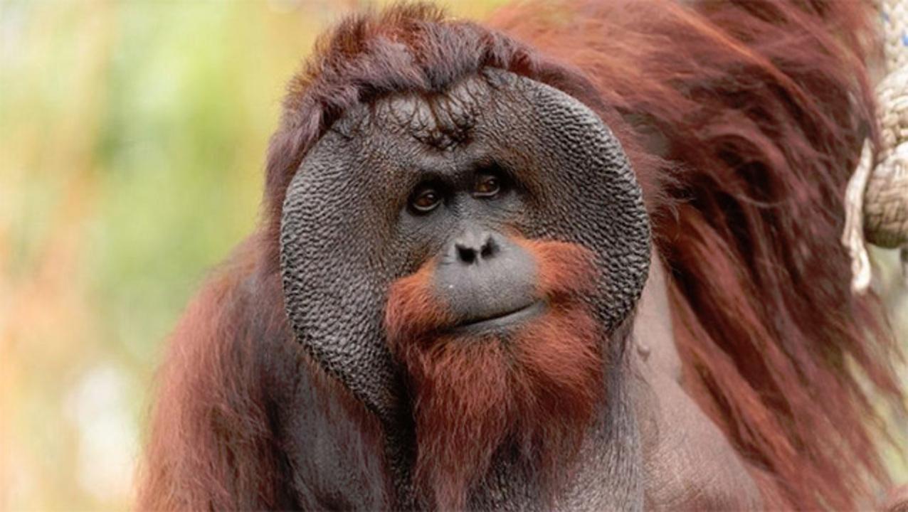 野生のオランウータン同士で、共謀による殺害が発生