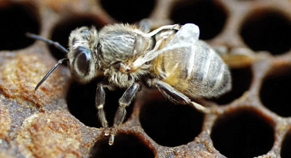 ミツバチを殺し続けるウイルス、それを止められるのは人間だけ!