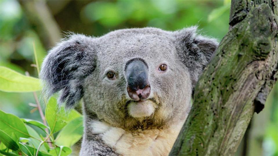ドアップのコアラ