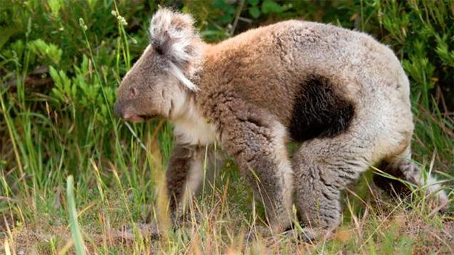 160215_koala02.jpg