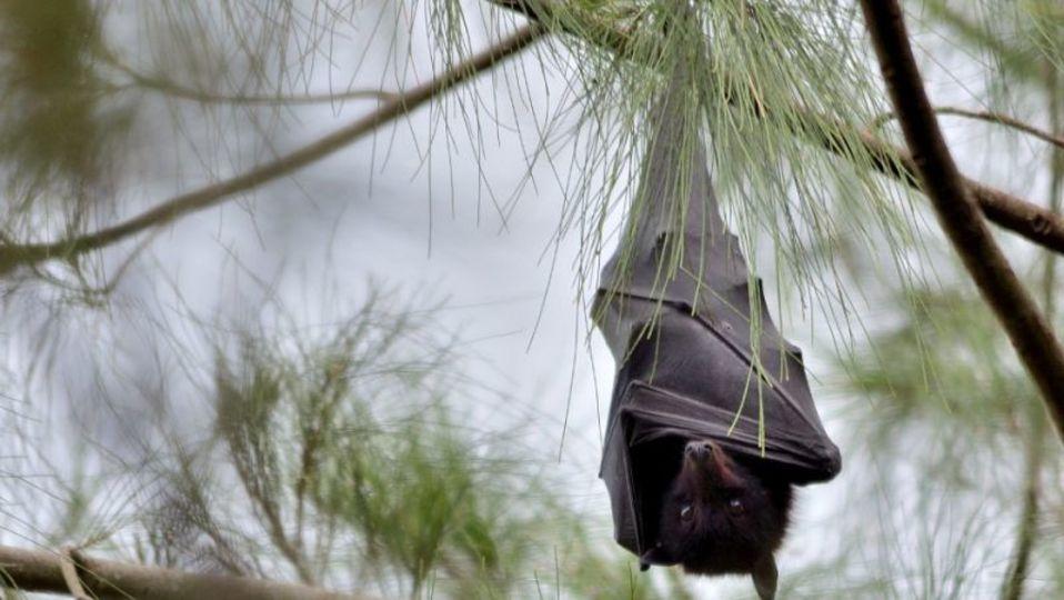 コウモリはエボラウイルスを持っているのに死なない理由