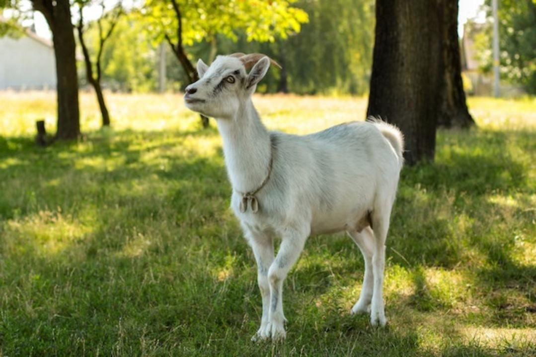 自然に優しいはずが…ヤギによる除草、臭いと苦情殺到で打ち切り