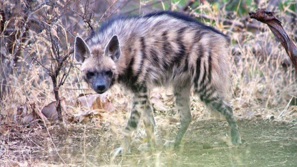 ハイエナとオオカミが生き残るために一緒に生活?