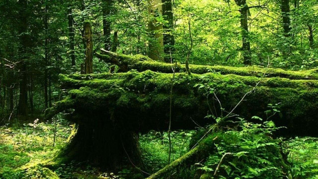ヨーロッパに残った最後の原生林...