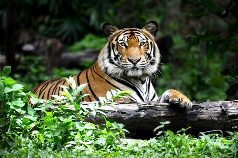野生のトラ、ここ100年ではじめて個体数が増加