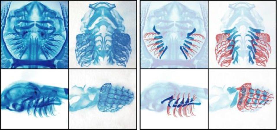 人間の指は魚のエラから進化? 遺伝子操作が裏付け