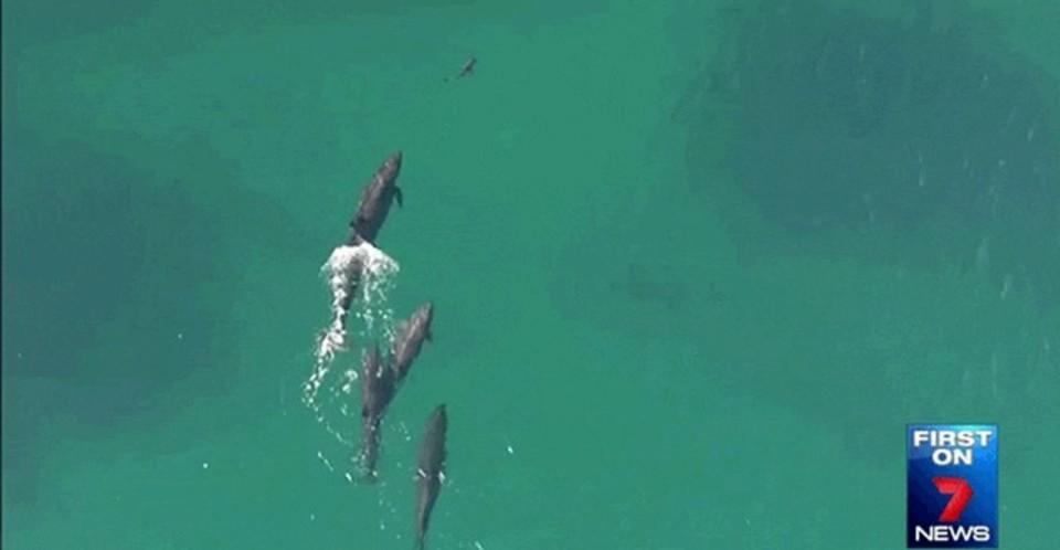 専門家もびっくり。イルカがサメを捕食する姿をドローンがとらえる