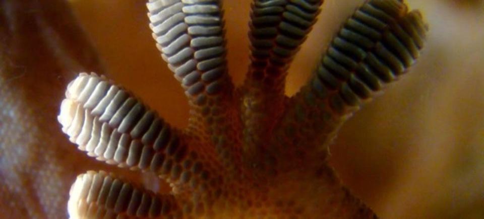 ヤモリの魔法のフォース「ファンデルワールス力」が究極のお掃除ツールに