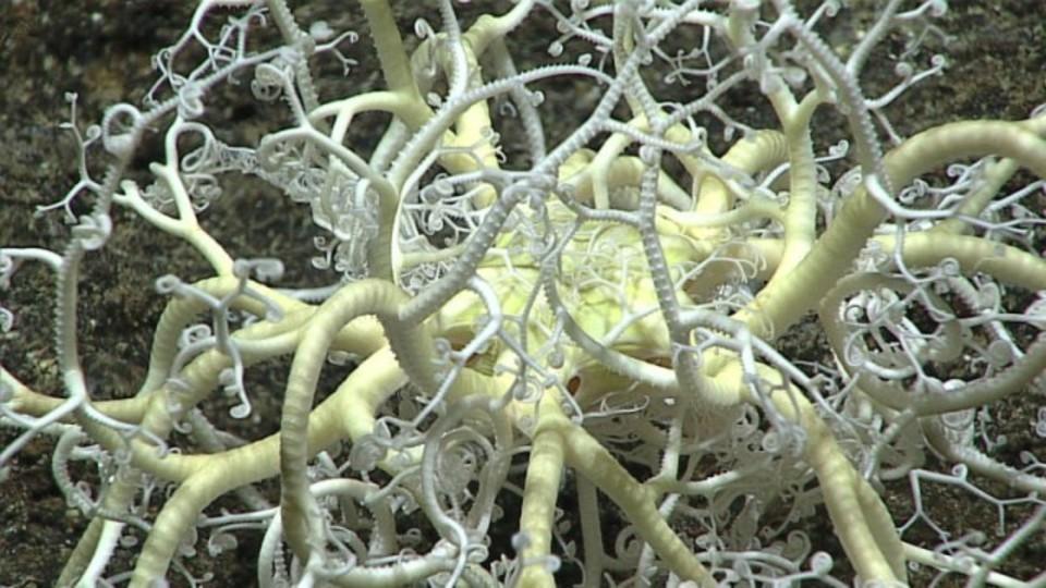 アンダー・ザ・シ~、マリアナ海溝底の奇妙な生き物たち
