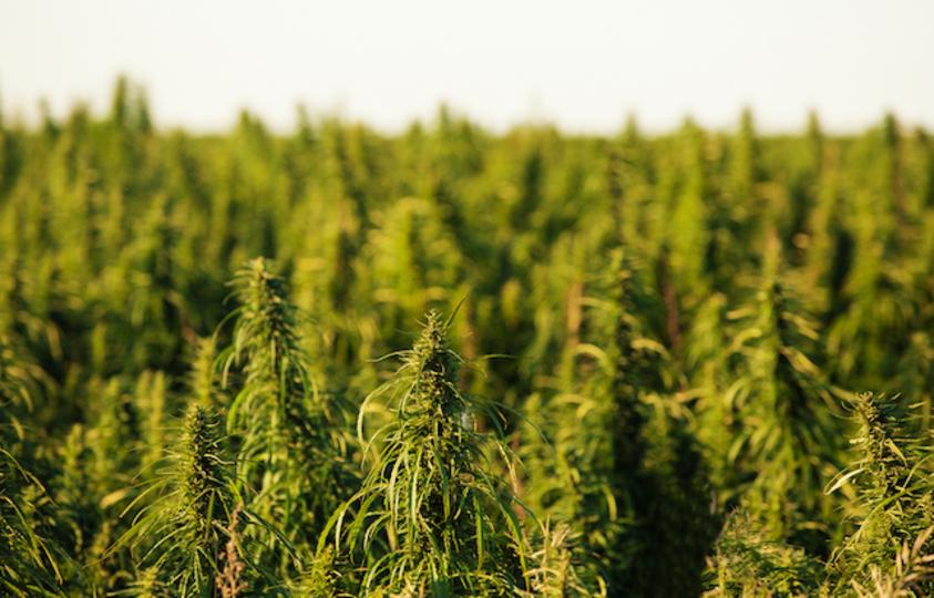 15歳カナダ少年が発見した土地は、マヤ文明ではなくマリファナ畑の可能性