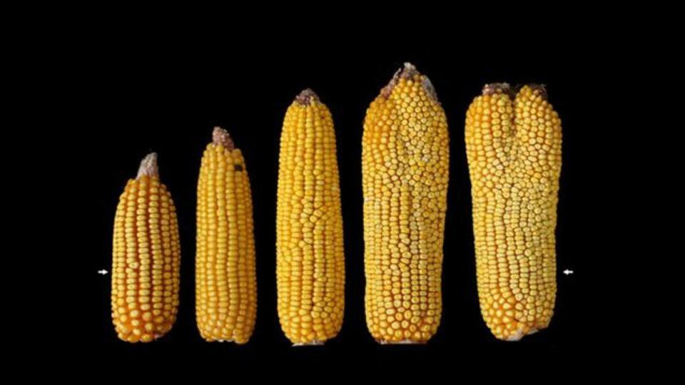 食料不足解決への答え、変な形のトウモロコシで見つかる