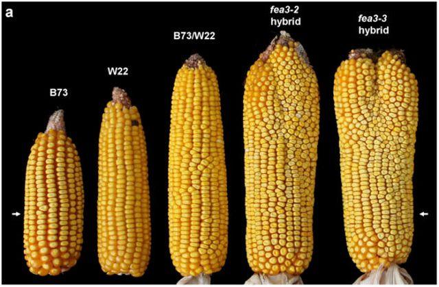 160517_corn2.jpg