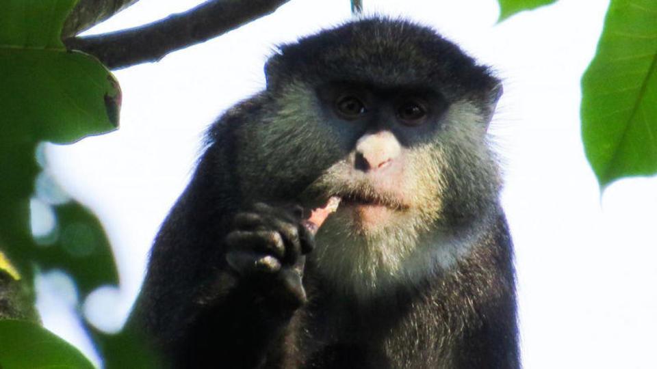 サルがコウモリを食べているのが初めて目撃される。エボラなどの感染経路にも関係する発見