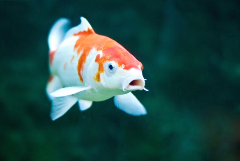 オーストラリアの鯉が最近焦っている理由