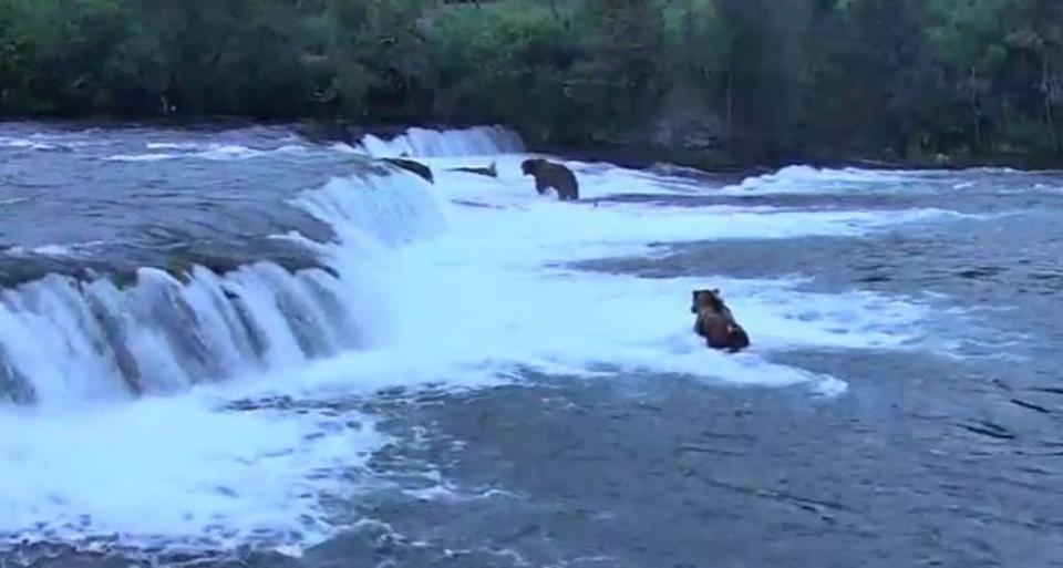 クマかわいいよクマ。川で魚を捕る姿をライブカムで眺めよう
