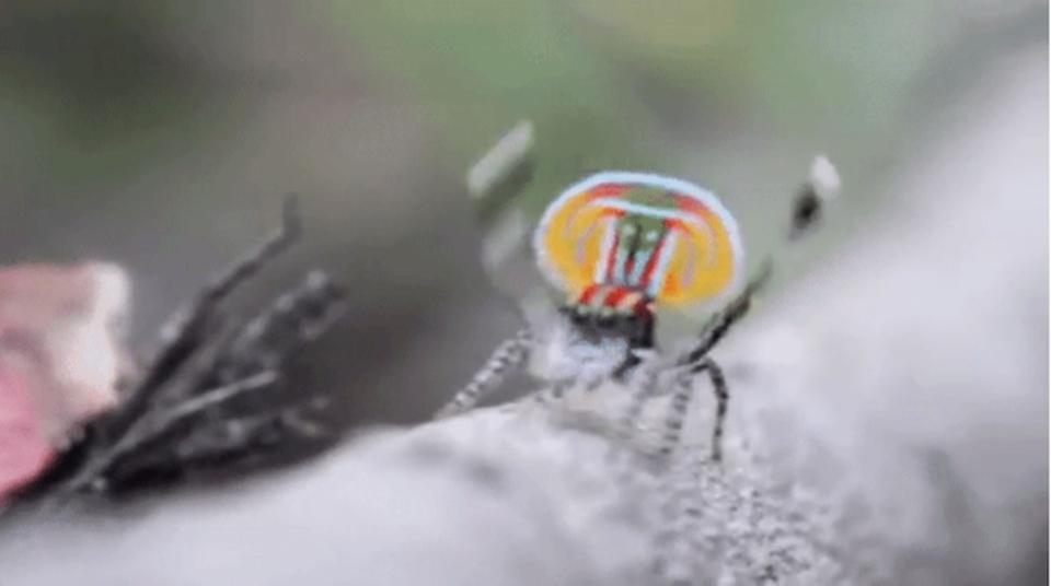 手振りクモ、ピーコックスパイダーのさらなるクレイジーな姿を観測