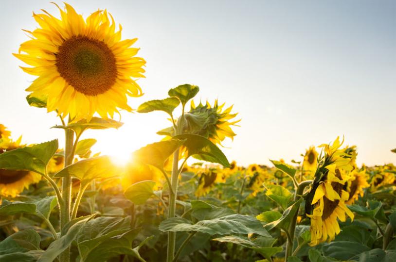 ひまわりが太陽を追って向きを変える理由とは?