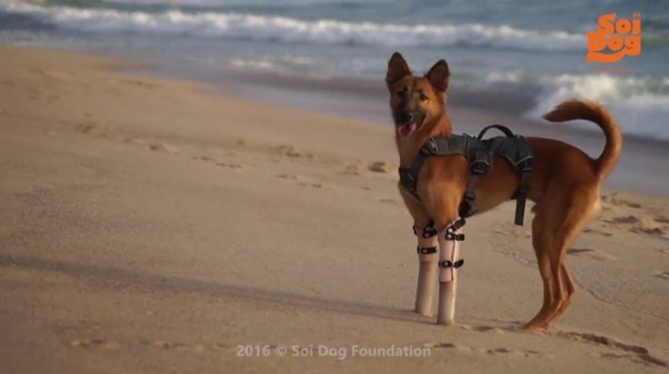 前脚を失ったワンちゃん、義肢をつけて大はしゃぎ