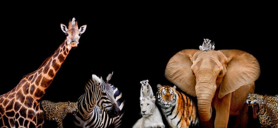 知ってた?ゾウ、ゴリラ、ライオン、トラ…絶滅してしまうかも