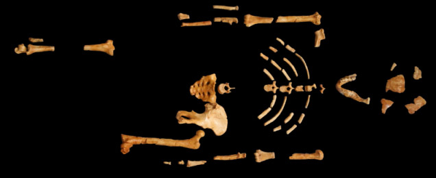 猿人のルーシーの死因は木からの落下か。皮肉にも、木の上で生活していた証拠に2