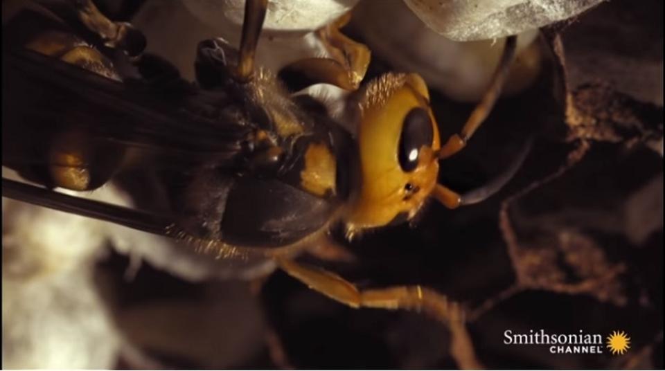 普段の生活ではきっと見られない、スズメバチ誕生の瞬間