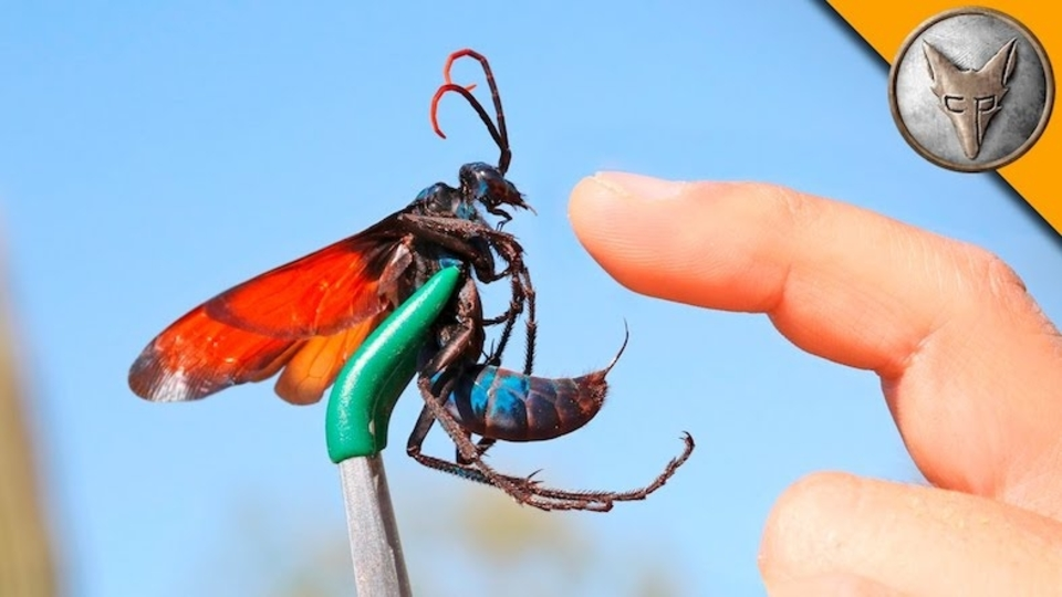 ワイルドすぎ!世界最大のハチに自分の腕を刺させる男