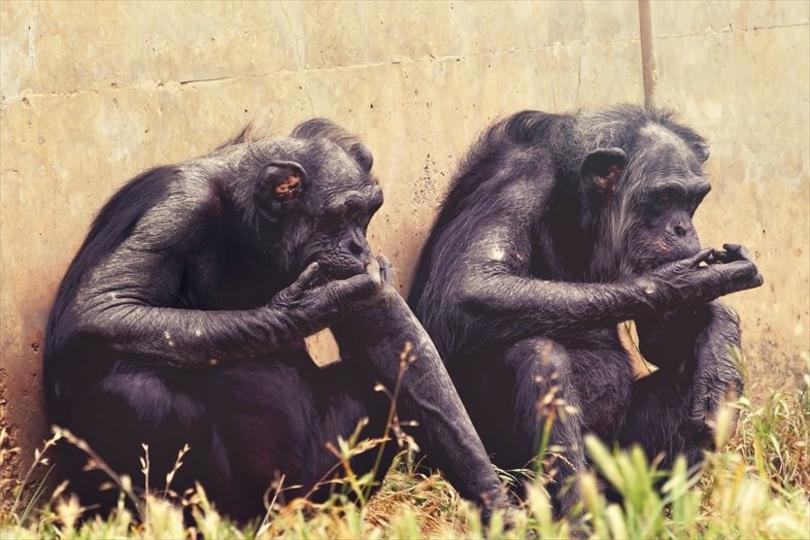 サルが空気を読む能力は想定外に高度、他者の間違った思考までお察し