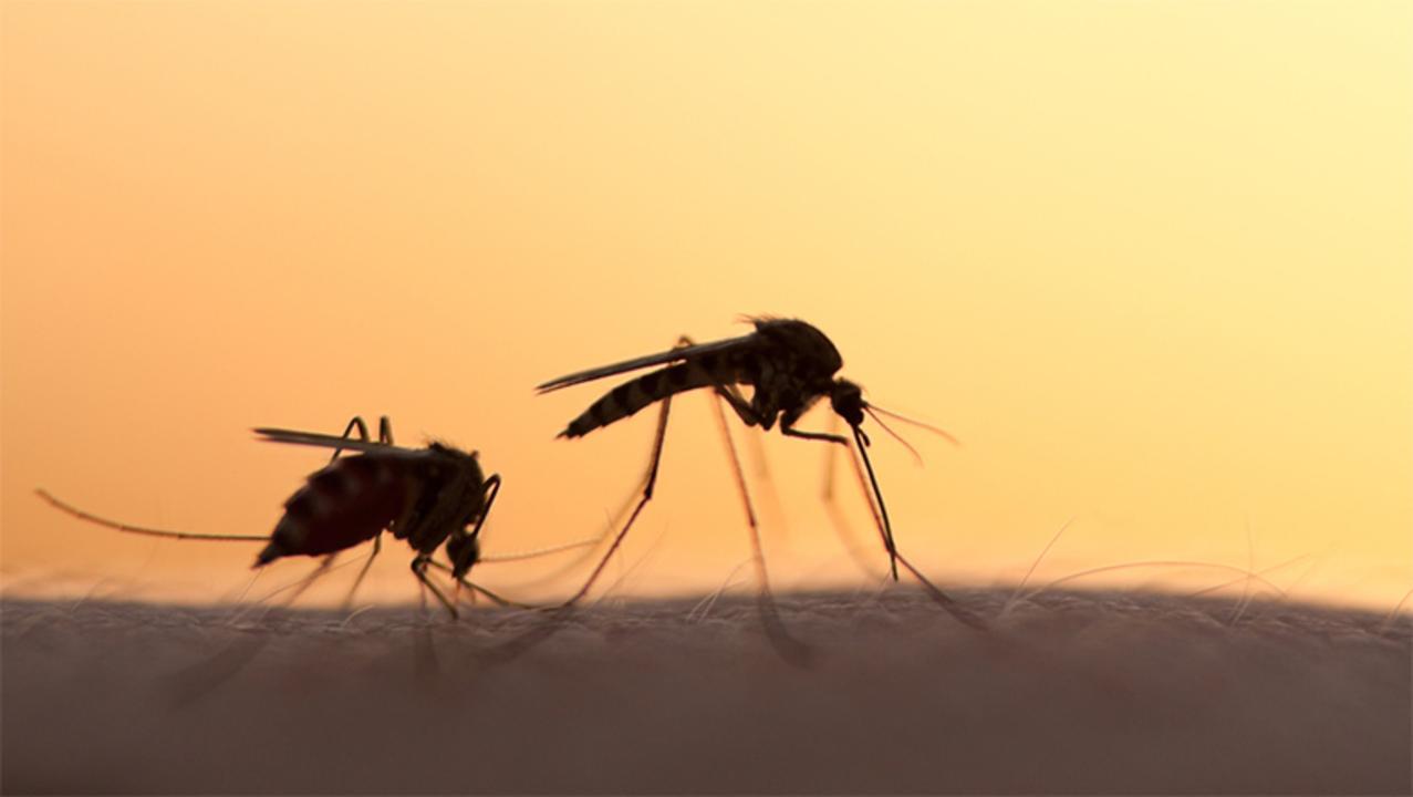 蚊の根絶にむけて、遺伝子操作された蚊の放出が目前