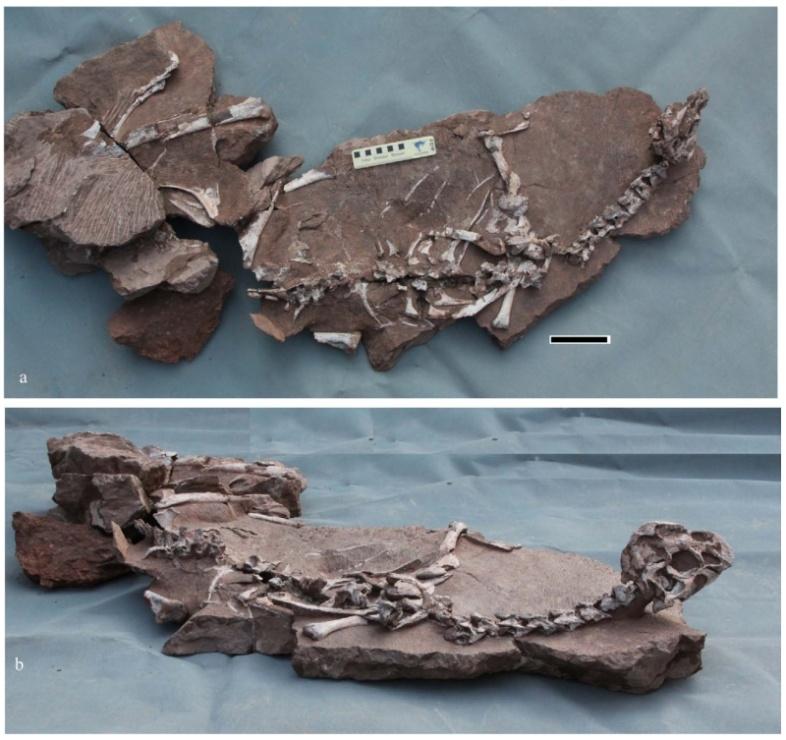 新発見された羽毛恐竜、泥にとらわれたかわいそうな姿のまま化石に…?2