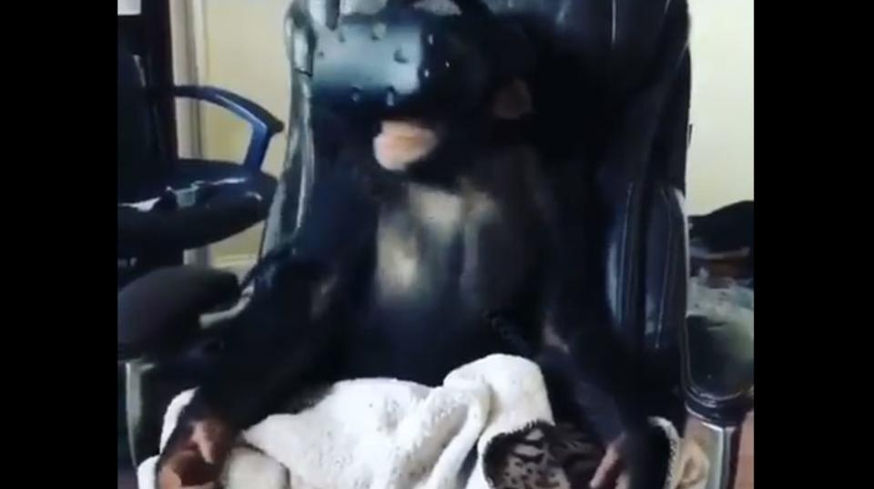 チンパンジーもVRがお好き