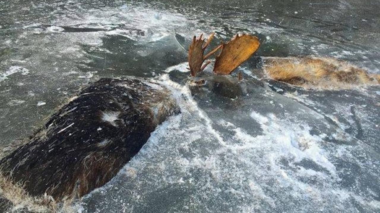 2頭のヘラジカ、川で戦ったままの状態で凍っているのが見つかる
