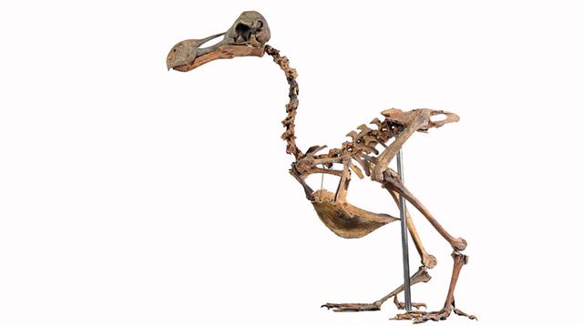 飛べない鳥ドードーの全身骨格、オークションで約4850万円で落札される