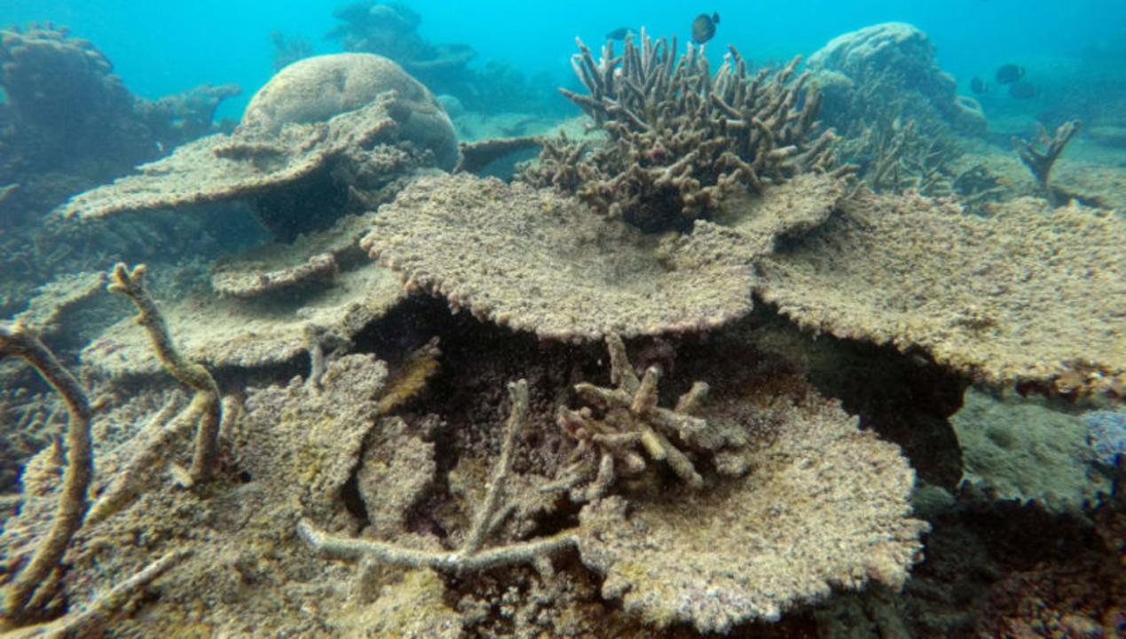 グレートバリアリーフのサンゴ礁、この先20年間で大量死が推測される