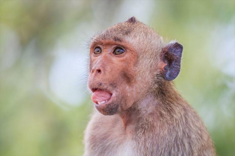 サルが言葉を話せない理由は、口やのどのせい? それとも脳?