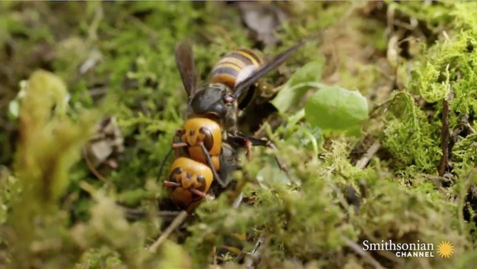 美しくも残酷。オオスズメバチによる縄張り争いの結果