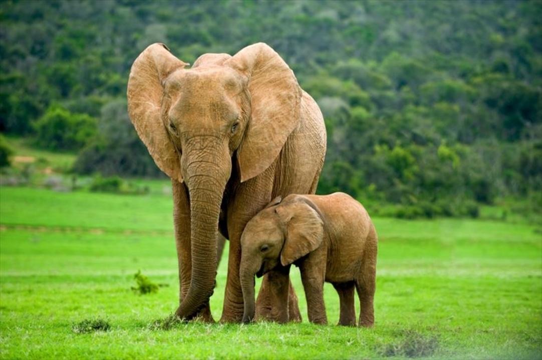 (追記あり)密猟のせいでゾウが進化したのかも…? 象牙のない象が増えている