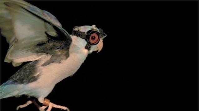 ぴよぴよ。小鳥用のゴーグルができたよー