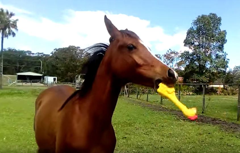 馬が教えてくれる、大声で鳴くチキンのおもちゃの遊び方