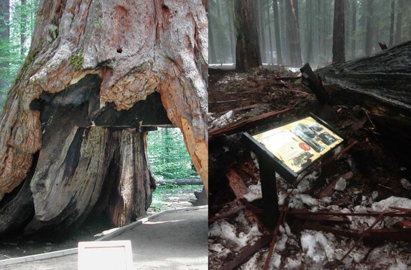 樹齢数百年! トンネルが掘られたあの名物セコイアが倒れる