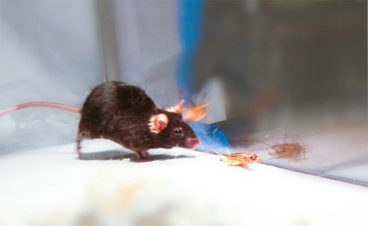 マウスの脳にウィルスを注入し、行動を操作する実験に成功