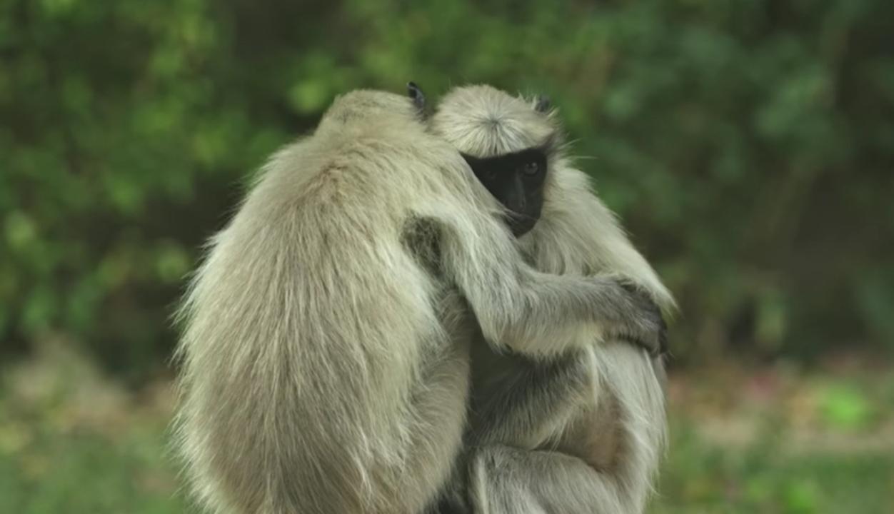 猿のロボットが木から落ちたら、野生の猿たちはどう反応する?