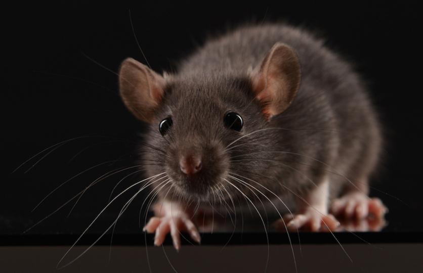マウスの脳のキラー・ニューロンを特定。スイッチオンで無心に獲物を噛み殺すゾンビに…