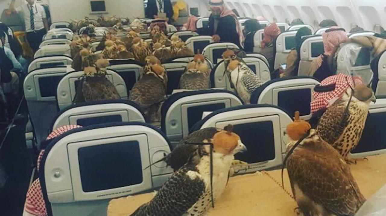 自分の羽は使いません。飛行機の一般客室に乗って移動する大量のタカたち